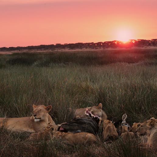 Big marsh pride eating zebra, Ndutu.