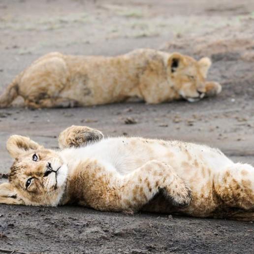 KopeLion, male lion cub, Ngorongoro Crater.