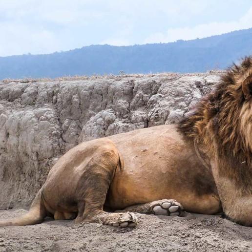 KopeLion, Male lion Ngorongoro Crater