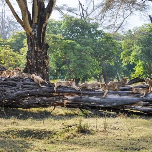 Lagunita pride in the Ngorongoro Crater, October 2016.