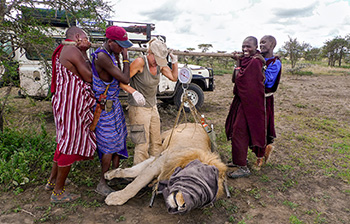 KopeLion Ingela and team weighing a male lion