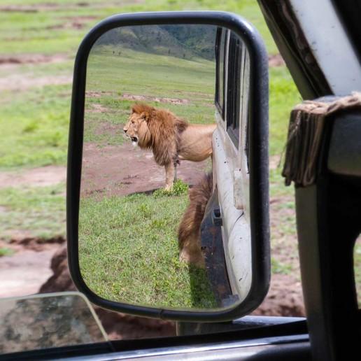 KopeLion, lion watning in the Ngorongoro crater