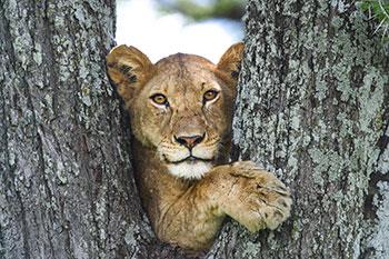 KopeLions lioness