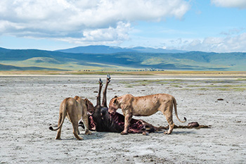 KopeLion, lions eating a gnu in the Ngorongoro Crater