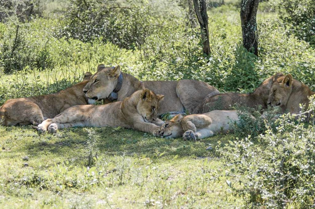 Nayomi and her cubs, December 2015.