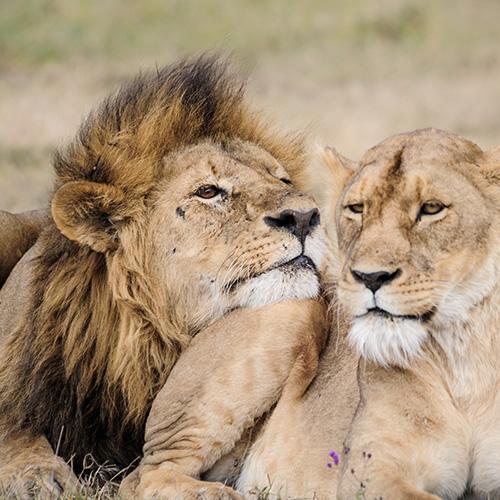 Male Lion Eugene in Ngorongoro Conservation Area