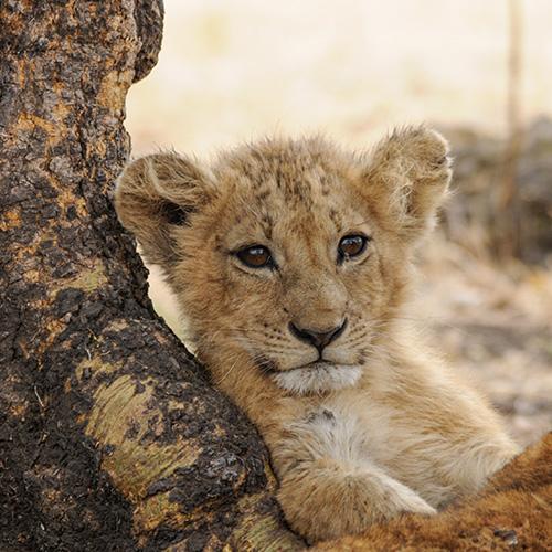 Lion LA122, Ngorongoro Conservation Area