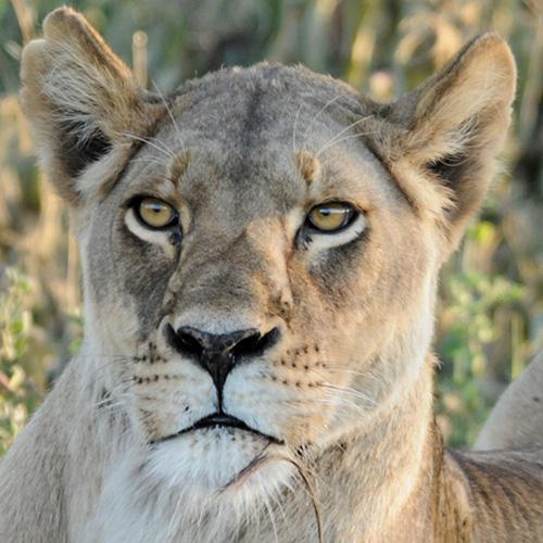 Lioness Nayomi, Ngorongoro Conservation Area